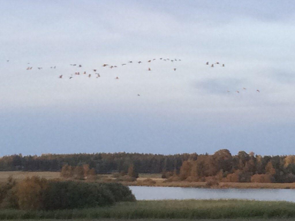 Flyttfåglar i luften