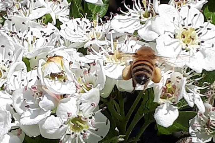 Bild 2 Hagtornen är översållade med blommor. Bin och andra insekter har bråda tider med pollinering. Fotograf: Inga-Lill Sörgard