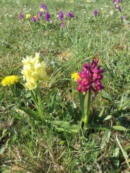 Vilda orkidéer – exkursion till Öland