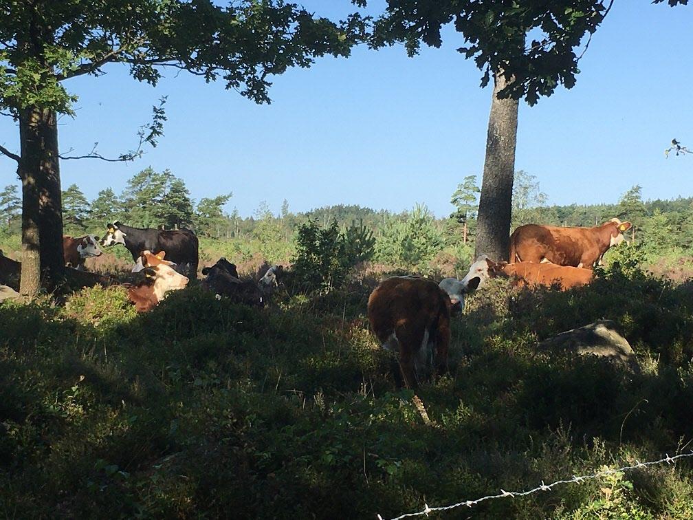 Heden betas av kor .