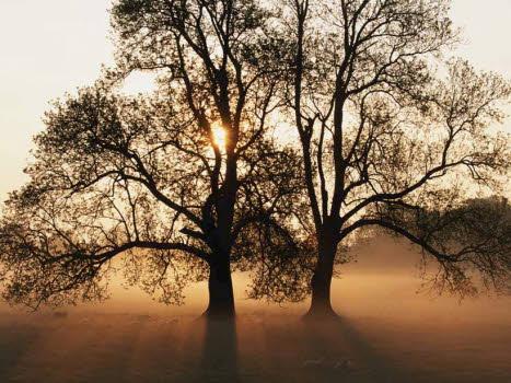 Träd i soluppgång och dimma