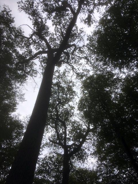 Så här ser den ut underifrån! Karolinereken är 37 m hög!