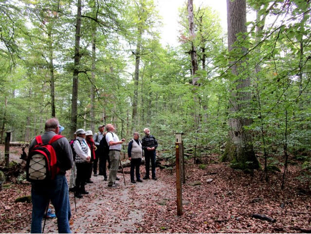 Jag uppskattar denna spikraka ek som varande 30 m hög, säger Ove