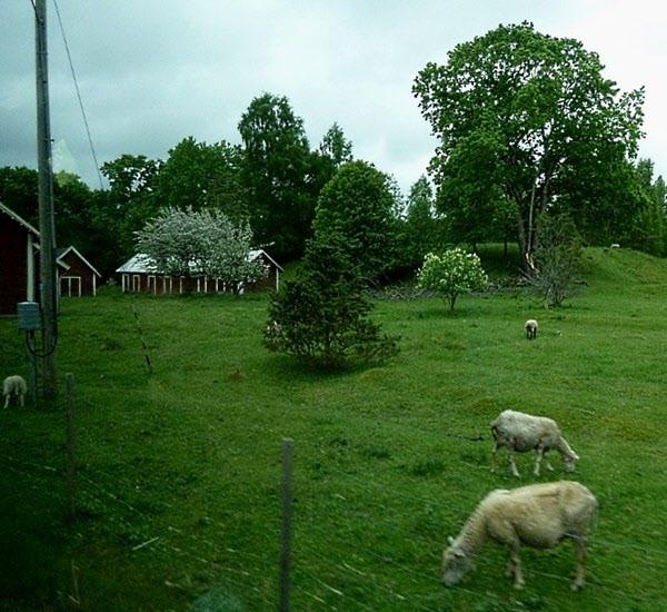 Förr fanns grisar, kor, hästar m.fl. djur på ägorna. I dag bara betande får.