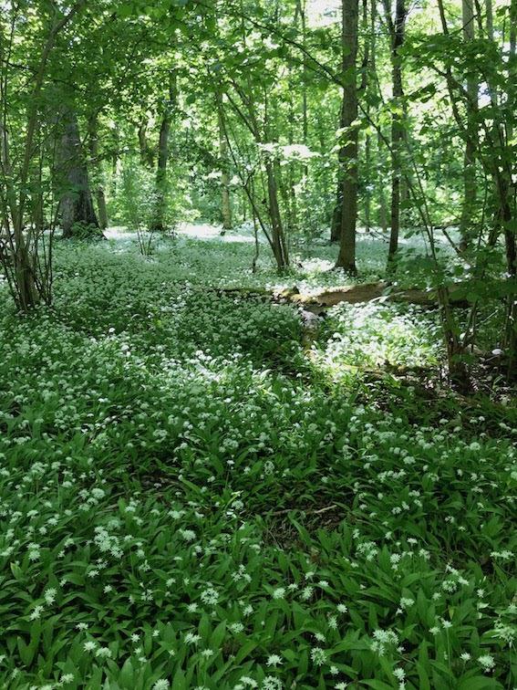 I slutet av maj och en bit in på juni blommar Ramslöken för fullt på Kinnekulle. Här på Munkängarna. Foto: UK