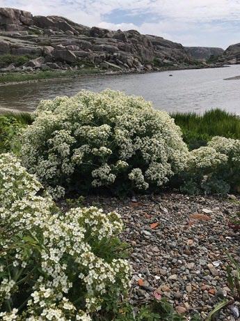 Bild 1 Strandkålen när den är som vackrast, 8/6 Fotograf: Eva Lundgren