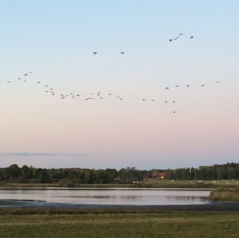 Skåra sjön och alla fåglar i luften.