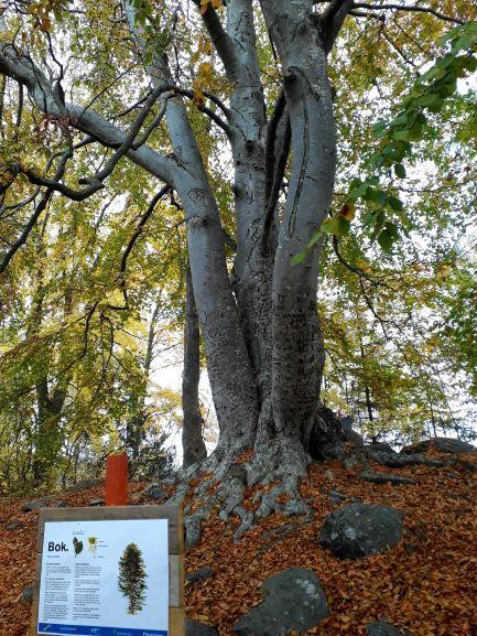 Ett Bokträd på Skäret.