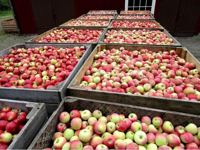Några äpplen får man ju lämna kvar!